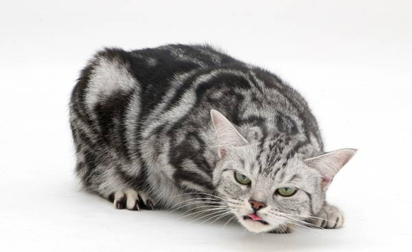 Sliver tabby cat Zelda coughing, head lowered, neck out-stretched