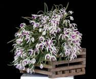 Leptotes -