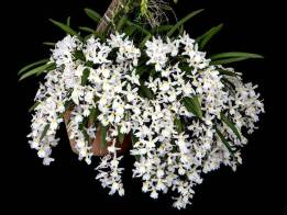 Rodriguezia alba