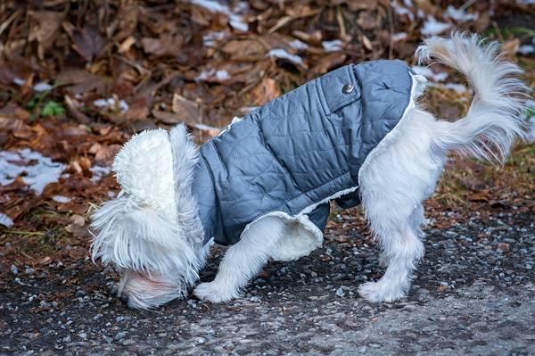 cachorro roupinha pixabay