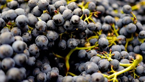 uvas vinho pinot pixabay