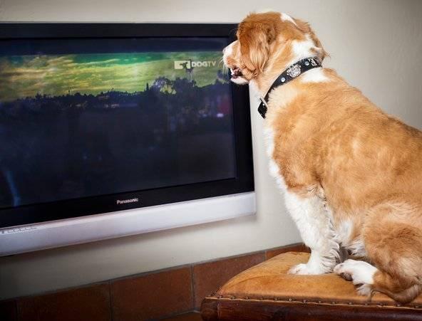 cachorro assistindo tv  dog tv.jpg