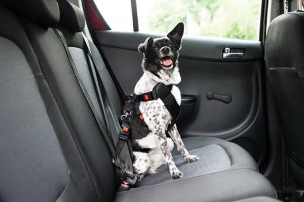 cachorro com cinto de segurança