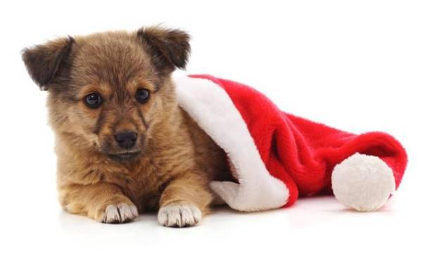 cachorro natal adoção.jpg