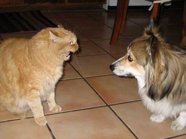 gato e cachorro brigando pictures of animals
