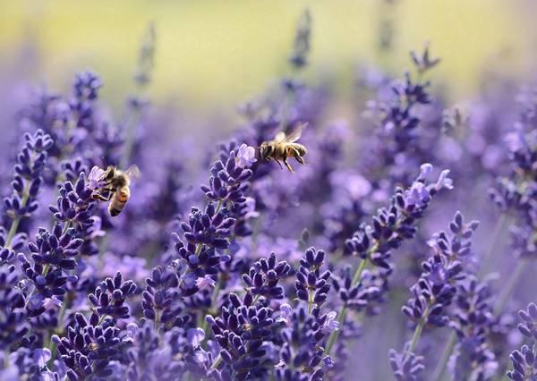 Lavanda com abelhas