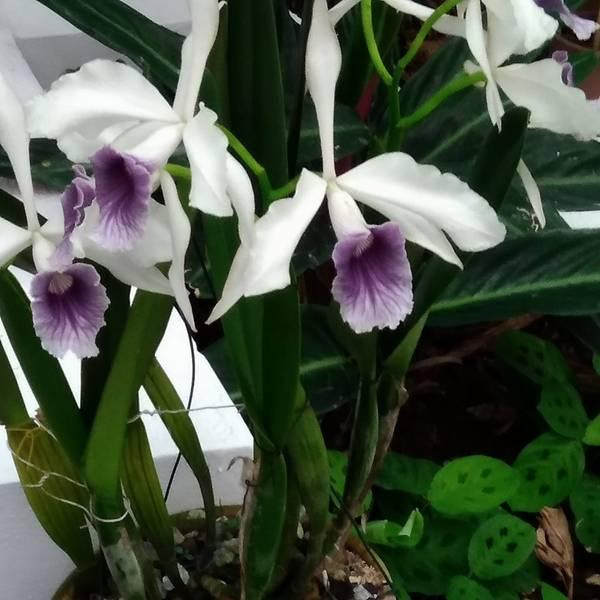 orquidea4