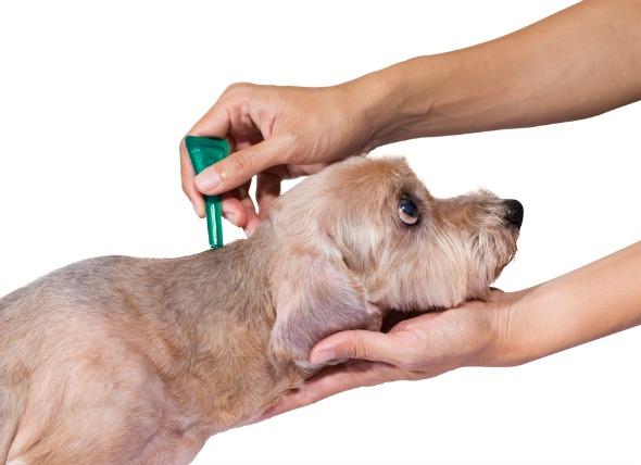 cachorro antipulga