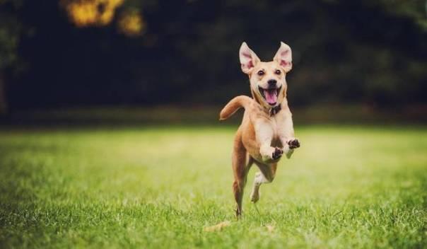 cachorro correndo brincando campo