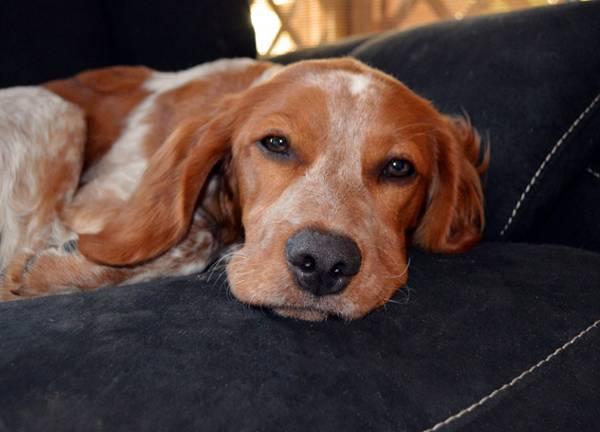 cachorro deitado doente