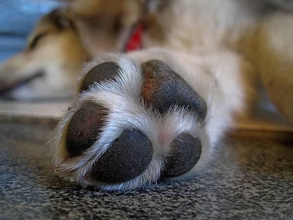cachorro pata coxim pixabay
