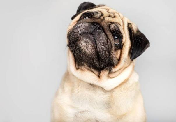 cachorro pug.jpg