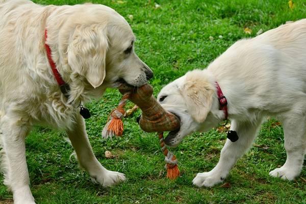 cachorros brinquedo brincando pixabay