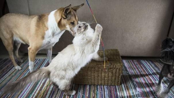 gato cachorro brinquedo eskimokettu pixabay