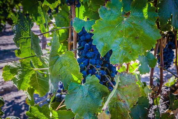 Uvas antes da colheita no inverno do Vale do Maipo