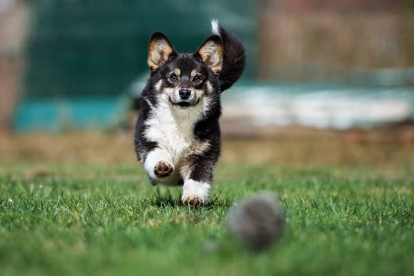 happy corgi dog playing outdoors