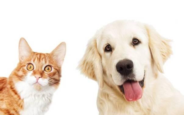 cachorro golden e gato laranja.jpg