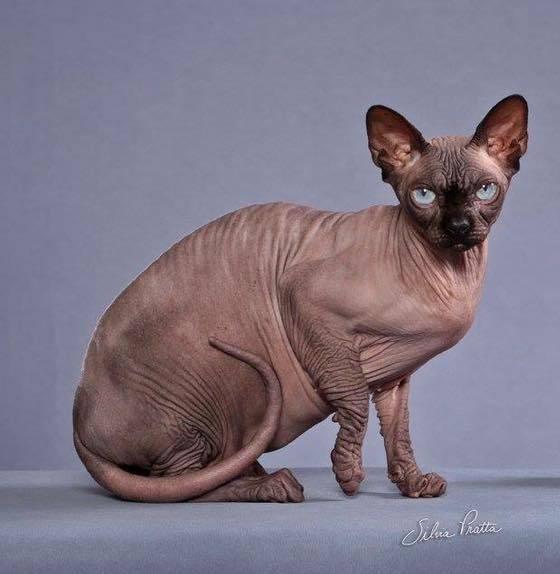 gato spynx