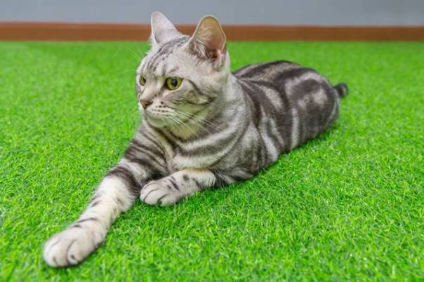 american shorthair on green artificial grass