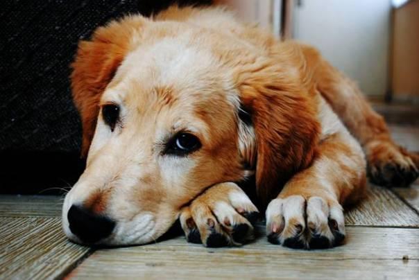 cachorro cao dog