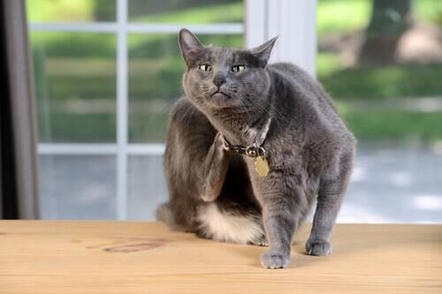 gato coceira coçando