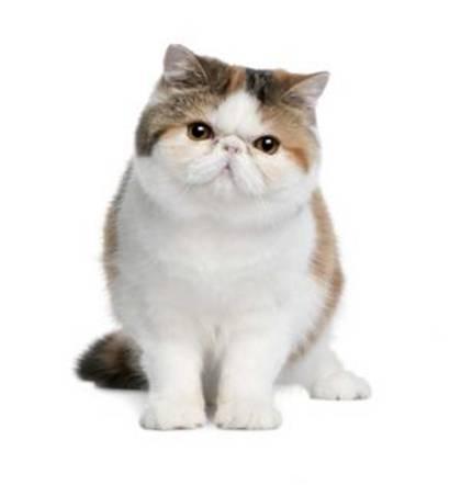 gato exotico