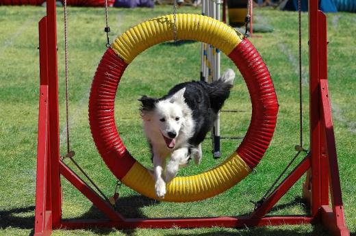 agility cachorro