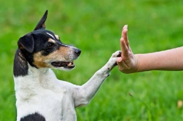 cachorro adestramento