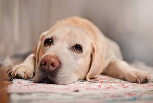 cachorro doente
