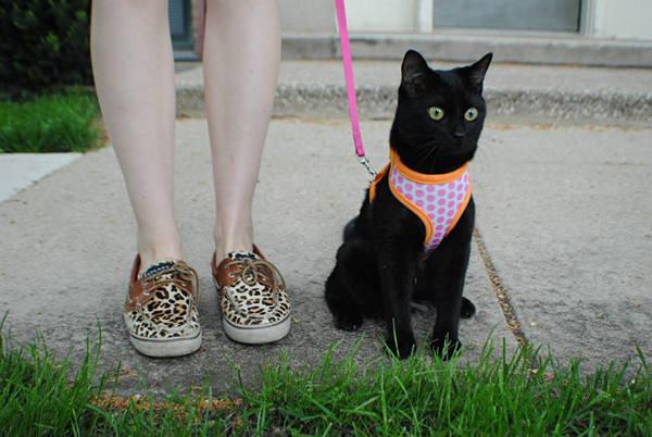 gato com coleira e guia passeio petbucket.jpg