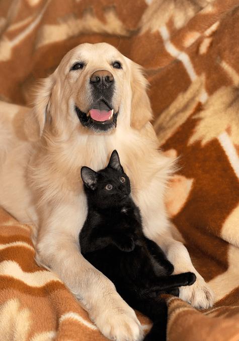 labrador cachorro gato preto