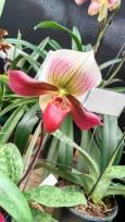 orquidea 1