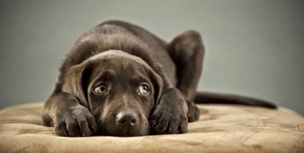 cachorro doente abatido deitado