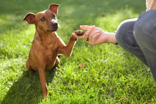 cachorro pata adestramento.jpg