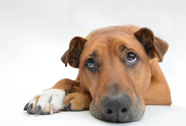 cachorro triste adoção