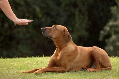 cão-obediente11 cachorro adestramento