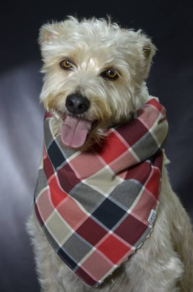 Petz coleção bandana Griff Dog cachorro