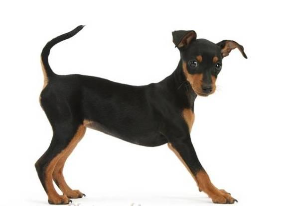 Miniature Pinscher puppy, Orla, standing