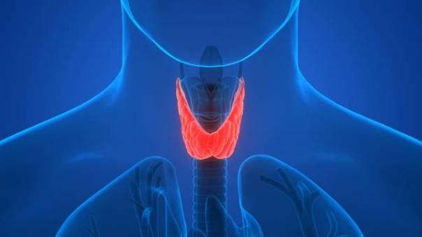 Human Body Glands Anatomy (Thyroid Gland)
