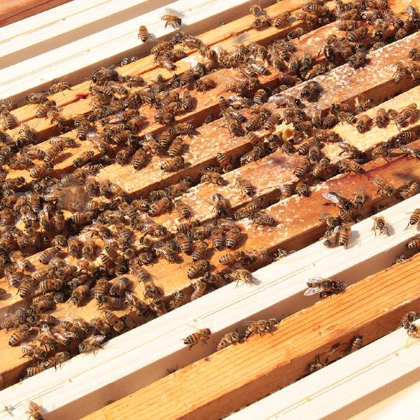 abelhas 1