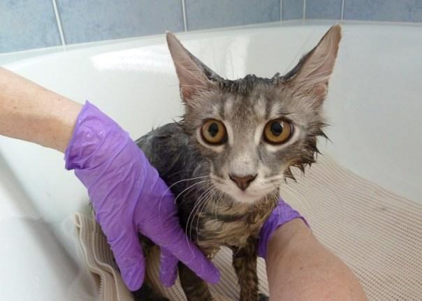banho gato luvas pawesome cats