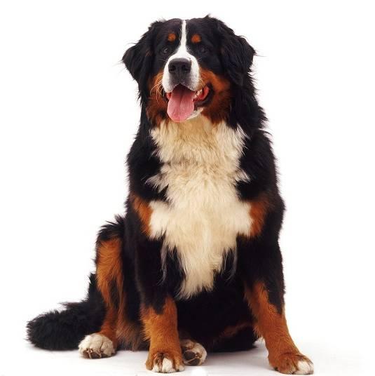cachorro  bernese   gigante warren.jpg