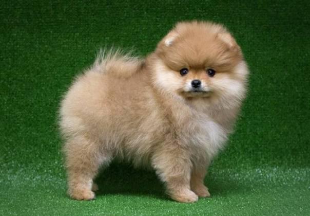 cachorro de raça.jpg