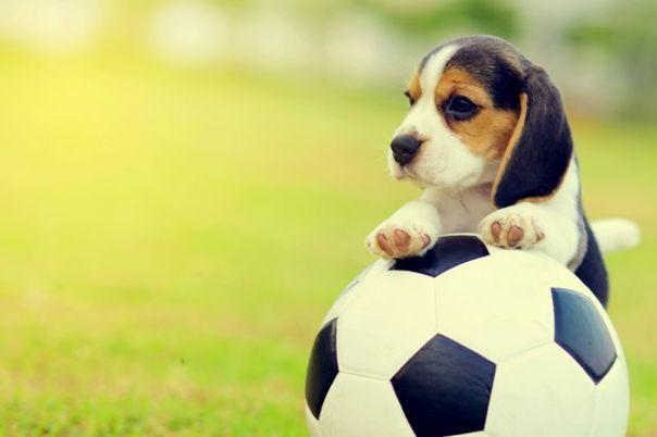 cachorro filhote beagle bola futebol
