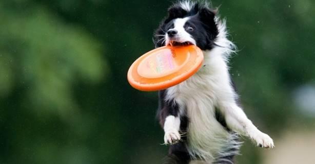 cachorro com frisbee