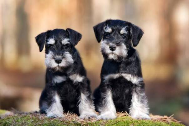 two miniature schnauzer puppies sitting outdoors