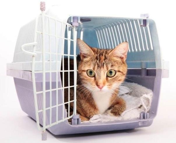 gato na caixa transporte