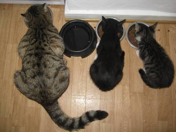 gatos comendo pixabay
