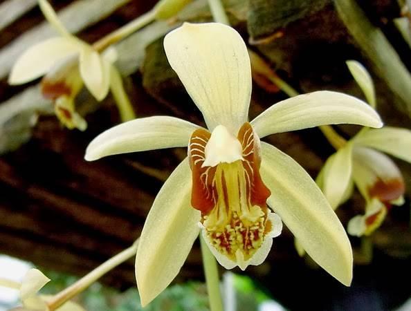 Orquídea Coelogyne