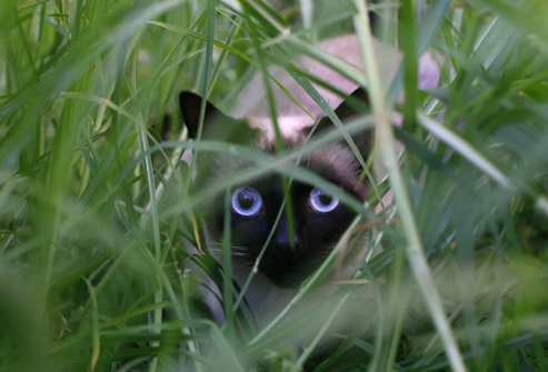 photolibrary_rm_photo_of_cat_playing_in_grass
